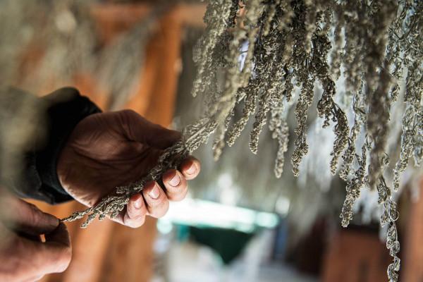 Artemisia-absinthium-Trocknung-Blog