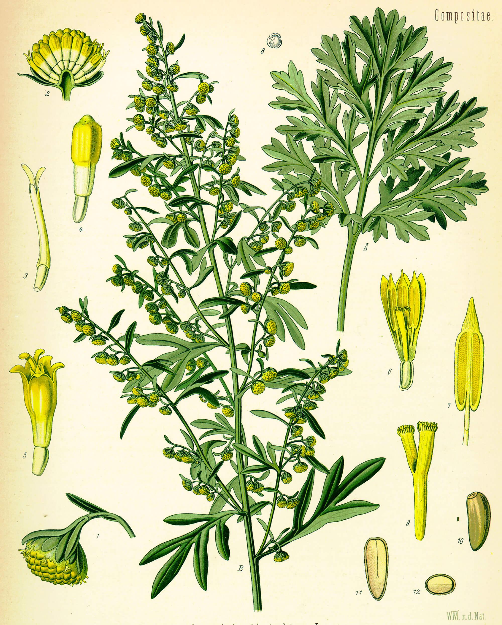 Artemisia-absinthium-Illustration