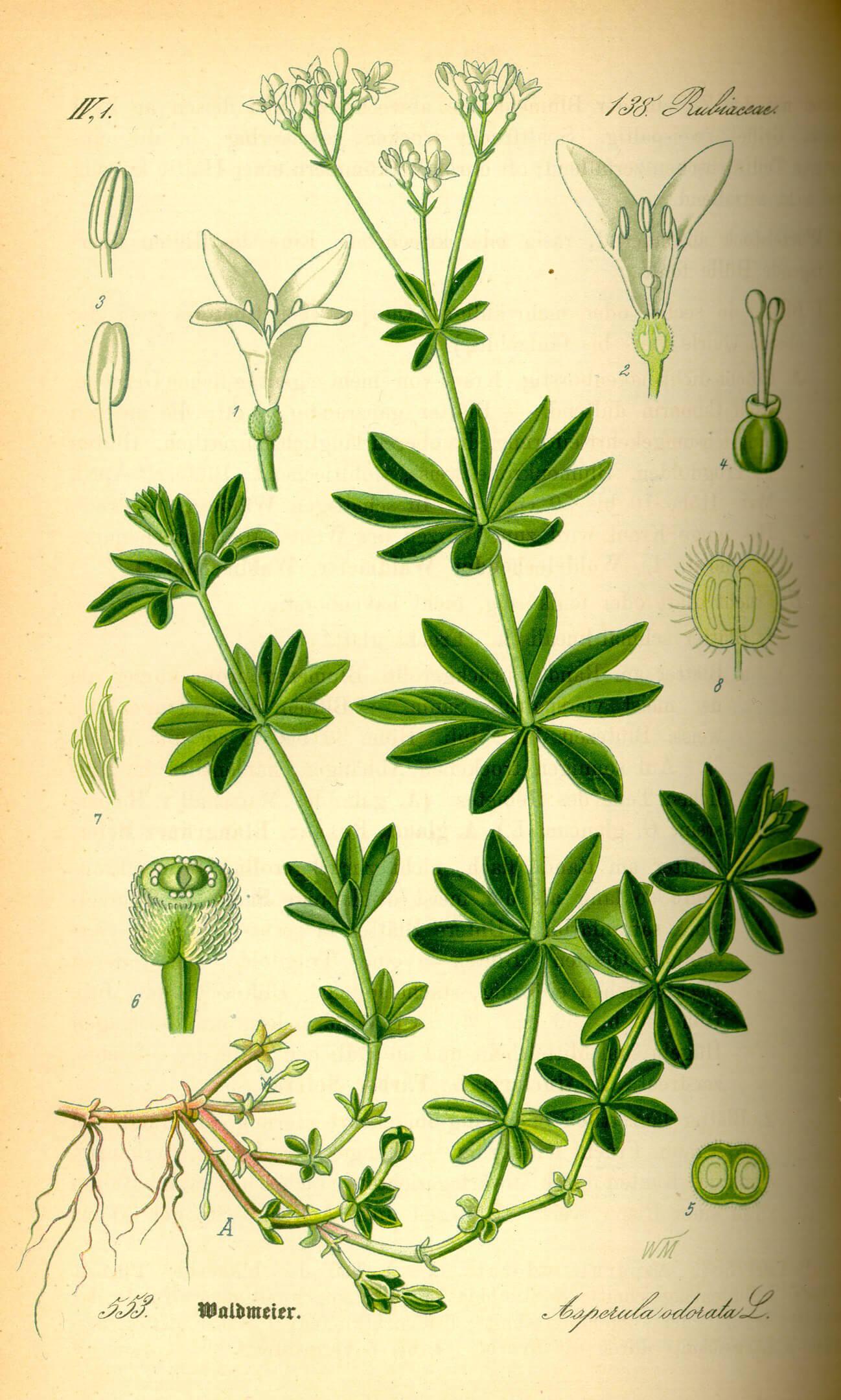 Waldmeister-Galium-odoratum-Illustration