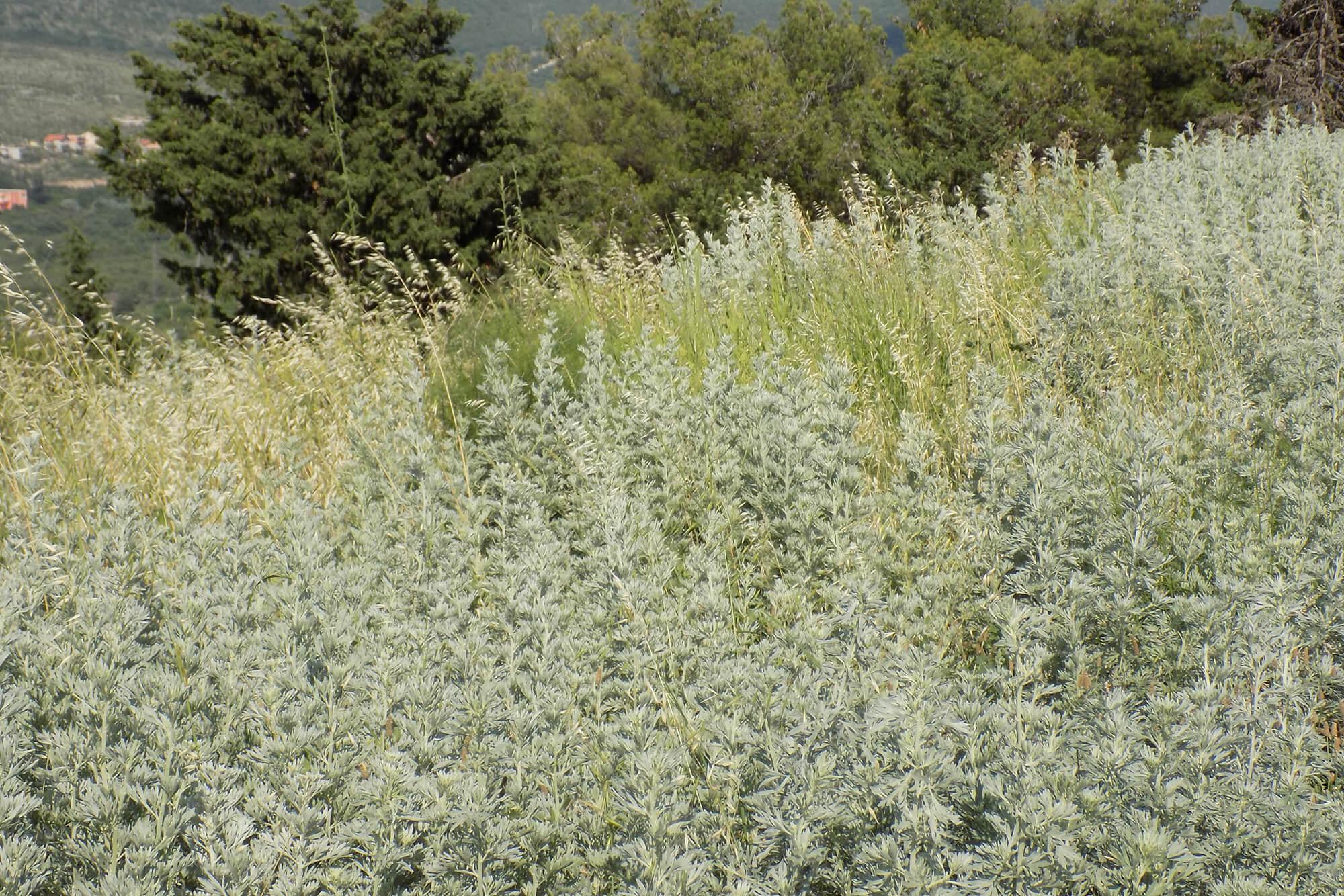 Artemisia-absinthium-Landschaft-Blog